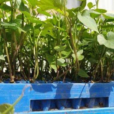 plaque plants patates douces
