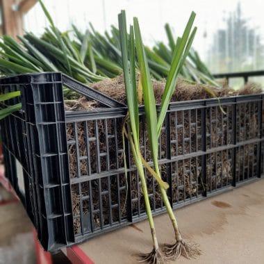 focus plant poireau