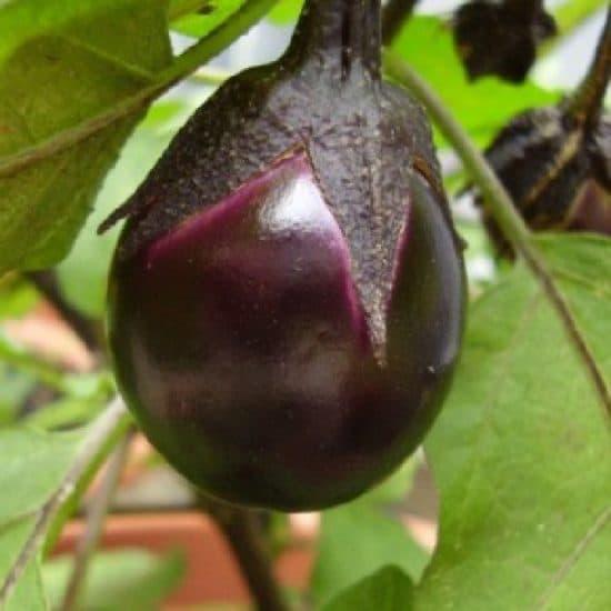 mini legume aubergine