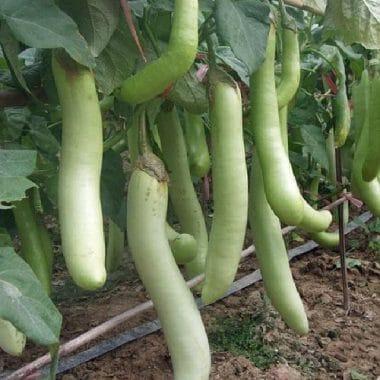aubergine verte